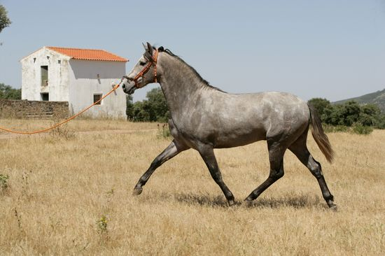 A Vendre Pure Race Espagnole : Furioso CXII né en 2007